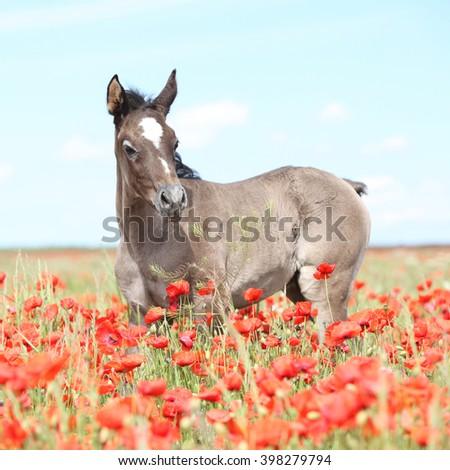 Amazing arabian foal standing in red poppy field alone - stock photo