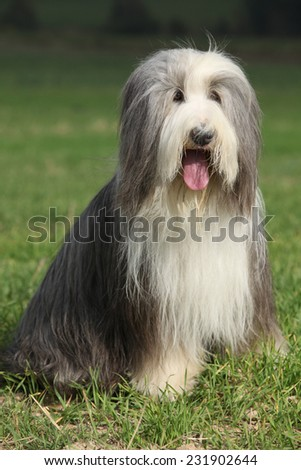 Amazing Bearded collie sitting in the grass - stock photo