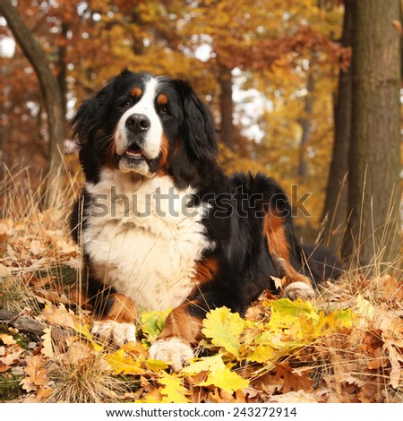 Amazing bernese mountain dog lying in autumn forest alone - stock photo