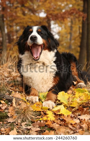 Amazing bernese mountain dog lying in autumn forest alone