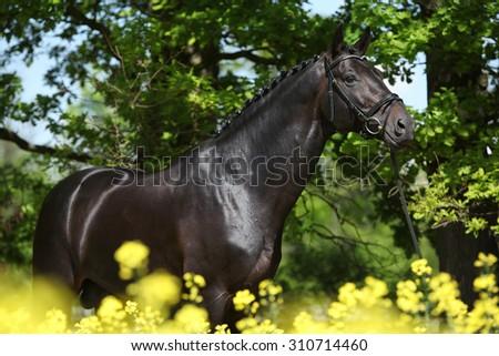 Amazing black dutch warmblood in colza field - stock photo