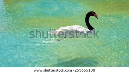 Amazing black-necked swan swiming in clean pond - stock photo