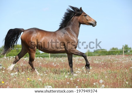 Amazing brown sport pony running on flowering pasturage