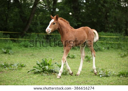Amazing chestnut foal moving alone on pasturage - stock photo