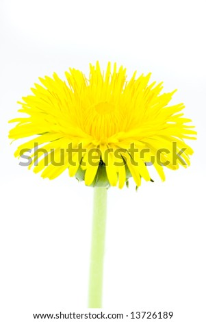 Amazing Close-up of Yellow Dandelion