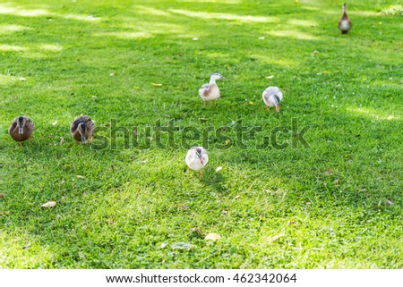 Amazing duck family waddling on a meadow in summer.  Ducks and ducklings eating grass on sunny day in a city park, image for nature concept, animal blogs and magazines