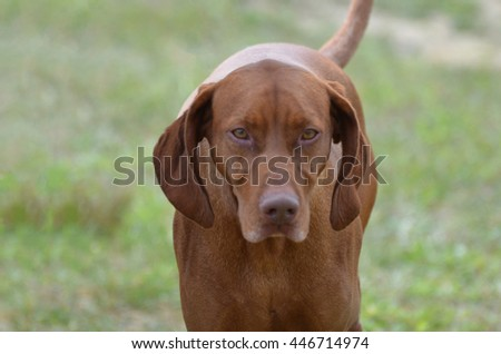 Amazing face of a vizsla dog with a sweet expression. - stock photo