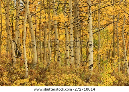 Amazing fall color in a forest of golden aspens, Utah, USA.