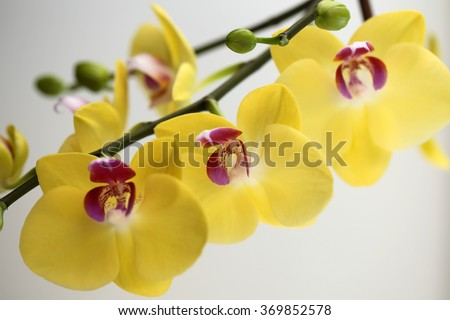 Amazing fresh blossoming colorful yellow orchidea showy shaped houseplant flower floral decoration natural beauty vivid gift for birthday bright design of card on white background closeup, horizontal  - stock photo