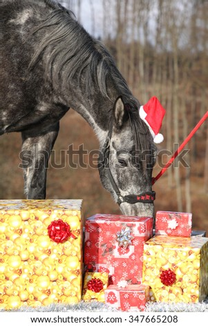 Amazing grey horse with christmas hat and gifts outside - stock photo