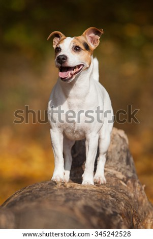 Amazing jack russell terrier alone in autumn - stock photo