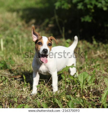 Amazing jack russell terrier puppy standing in the garden