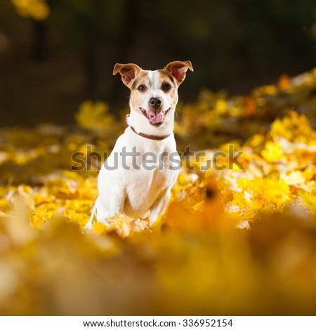 Amazing jack russell terrier sitting in leaves in autumn - stock photo