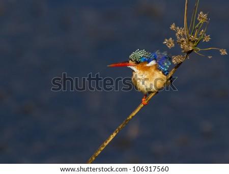 Amazing little Malachite Kingfisher against a super background - stock photo