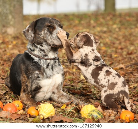 Amazing Louisiana Catahoula dog with adorable puppy in autumn  - stock photo