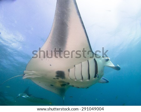 Amazing manta rays flying and playing around. Manta dive in Yap, Micronesia. The huge rays easy to identified. - stock photo