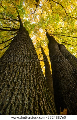 Amazing maple trees from below - stock photo