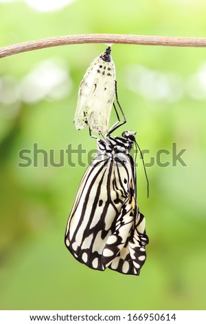 amazing moment about butterfly change form chrysalis - stock photo
