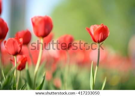 Amazing nature view of red tulips in garden & sunlight. Sunny nature. Nature flower & sun. Beautiful nature. Green nature. Nature life. Nature view. Great nature. Sunny nature  - stock photo