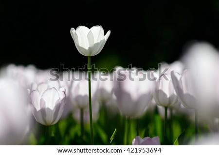 Amazing nature view of white tulips in garden & sunlight. Sunny nature. Nature flower & sun. Nature. Beautiful nature. Green nature. Nature life. Nature Nature view. Great nature. Sunny nature. Nature - stock photo