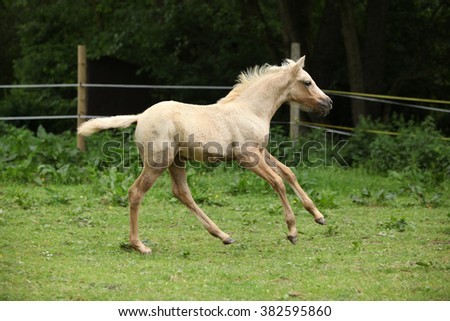 Amazing palomino foal moving alone on pasturage