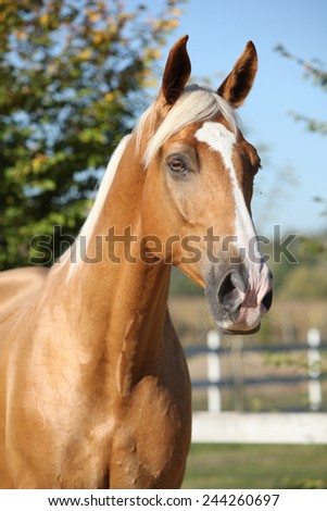 Amazing palomino horse of czech warmlood with blond hair