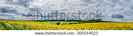 Amazing panoramic view  field of sunflowers by summertime.