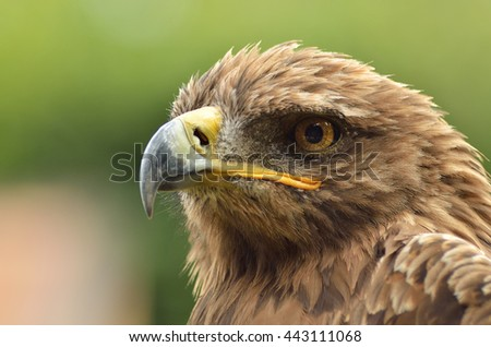 amazing portrait of golden eagle in the park