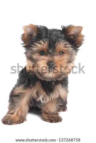 Amazing puppy of the Yorkshire Terrier isolated on white