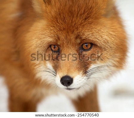 Amazing red fox male, vulpes vulpes, on white snow background. Excellent head of beautiful forest wild beast. Smart look of dodgy vulpes, skilled raptor and elegant animal. Cute and cuddly creature. - stock photo
