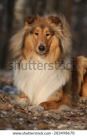 Amazing scotch collie lying in winter forest - stock photo