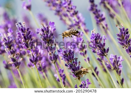 Amazing shot of  bee landing on a lavender flowers in front of  atmospheric blue sky looks like from different planet - stock photo