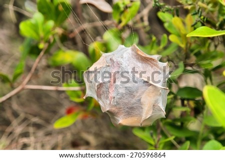Amazing spider nest cocoon. Shot on the Otter trail in the Tsitsikamma National Park, Garden Route area, Western Cape, South Africa. - stock photo