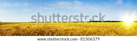 Amazing summer landscape with cereals field and fun sun.