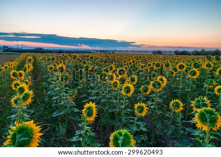 Amazing sunrise over a field of sunflowers