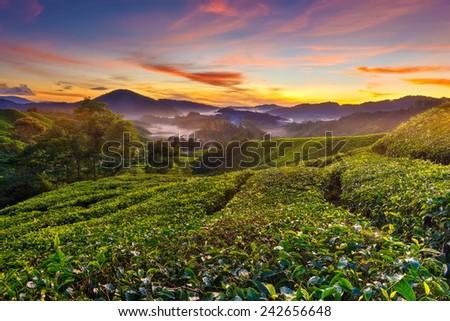 Amazing sunrise view at tea plantation - stock photo