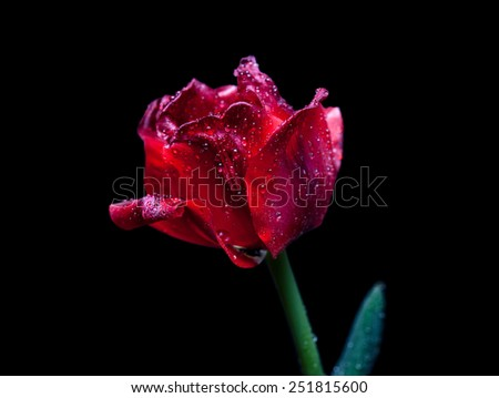 Amazing tulip. Beautiful red flower with shining diamonds drops on petals, black background. Special artistic effect-  soft focus, accent on drops in different spots of flower, mysteriously lighted. - stock photo