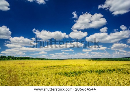 Amazing view of golden wheat field  by summertime.