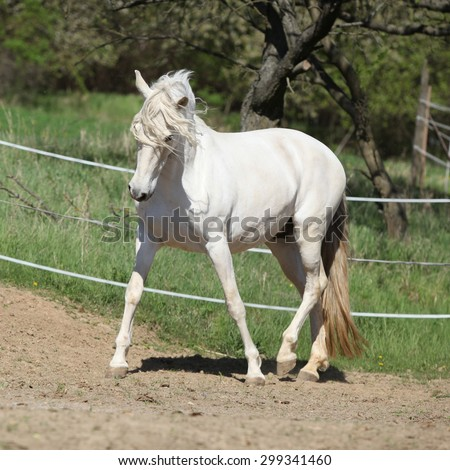Amazing white andalusian mare in spring paddock