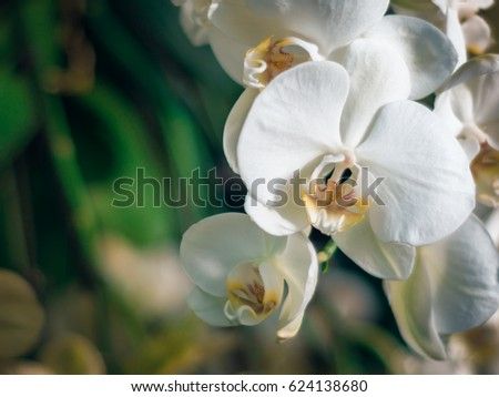 Amazing white Orchids with space for text. Beautiful white flowers arrangement with green floral background.  Orchids are amazing flowers and also elegant.
