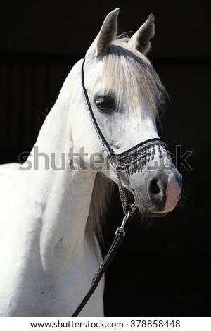 Amazing white shagya arab isolated on black background - stock photo