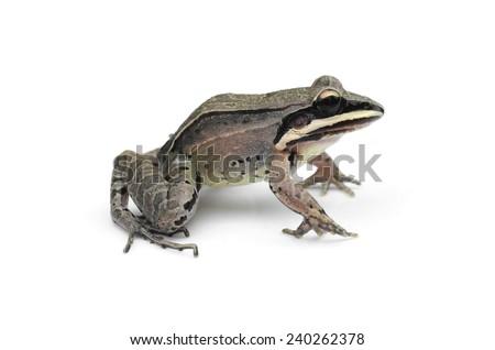 Amazon bandit frog (Leptodactylus didymus) - stock photo