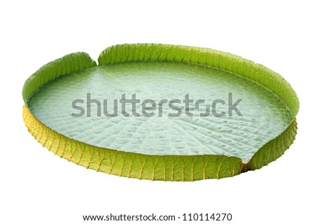 Amazon lily pad (Victoria Regia) isolated on white - stock photo