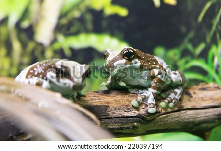 Amazon Milk Frog (Phrynohyas Resinifictrix) - stock photo