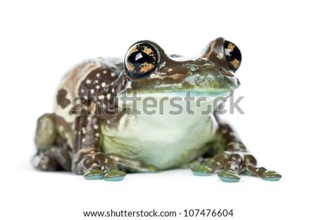 Amazon Milk Frog, Trachycephalus resinifictrix, portrait against white background - stock photo