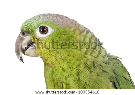 Amazon Parrot perched and isolated on white