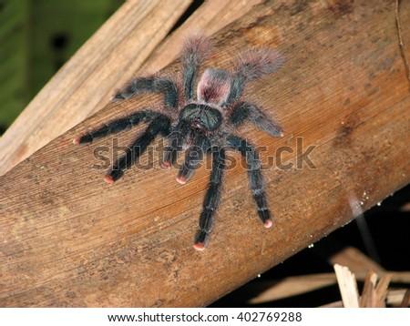 Amazon spider - stock photo