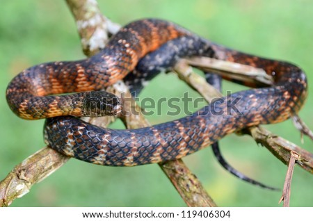Amazon water snake (Liophis taeniogaster) - stock photo