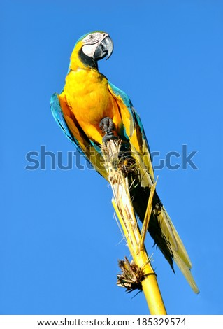 Amazonian Blue-and-yellow Macaw - Ara ararauna in front of a blue sky - stock photo