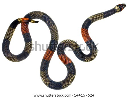 Amazonian Coral Snake (Micrurus spixii obscurus). A venomous snake from the Ecuadorian Amazon. - stock photo